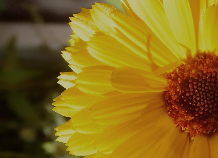 Sunflower-Quarter.jpg