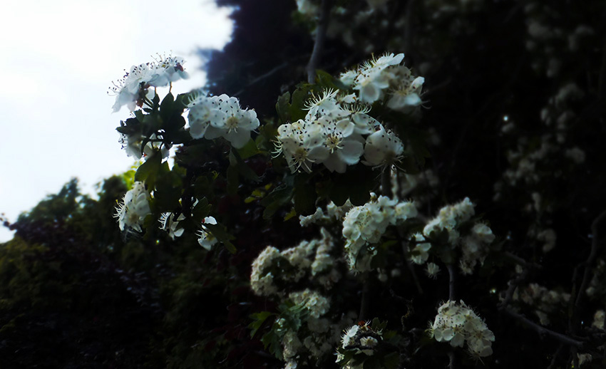 White-flowers-jmp-blog.jpg
