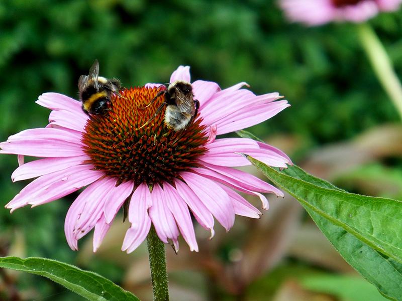 Bees-and-Echinecea-jmpblog.jpg