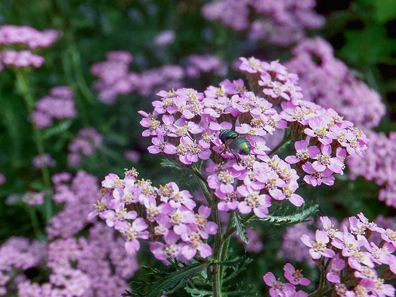 Pink-flowers-with-fly-jmpblog.jpg
