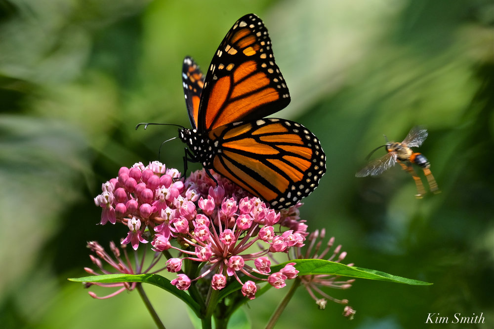 monarch-butterfly-marsh-milkweed-asclepias-incarnata-copyright-kim-smith 2.jpg