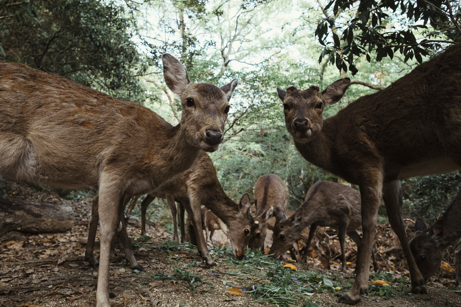 A whole pack of deer feeding on some greens and oranges someone dropped, Miyajima.
