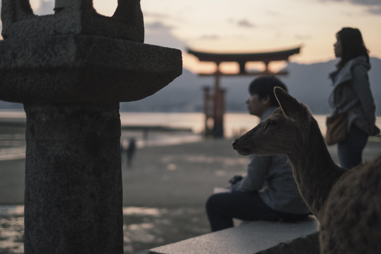 A deer and tourist heard a sound, Miyajima.