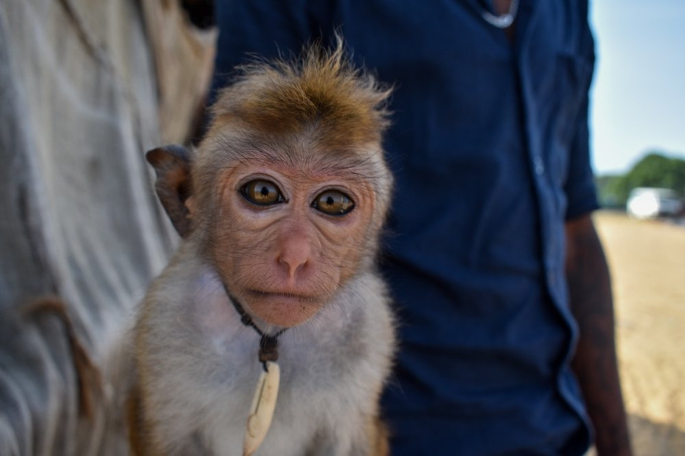 Monkey Selfies in Tourism - We combined our footage from Sri Lanka and India to help raise awareness of the abuse and mutilation prevalent in the monkey tourism industry. We launched the footage with viral social media platform UNILAD.Read more