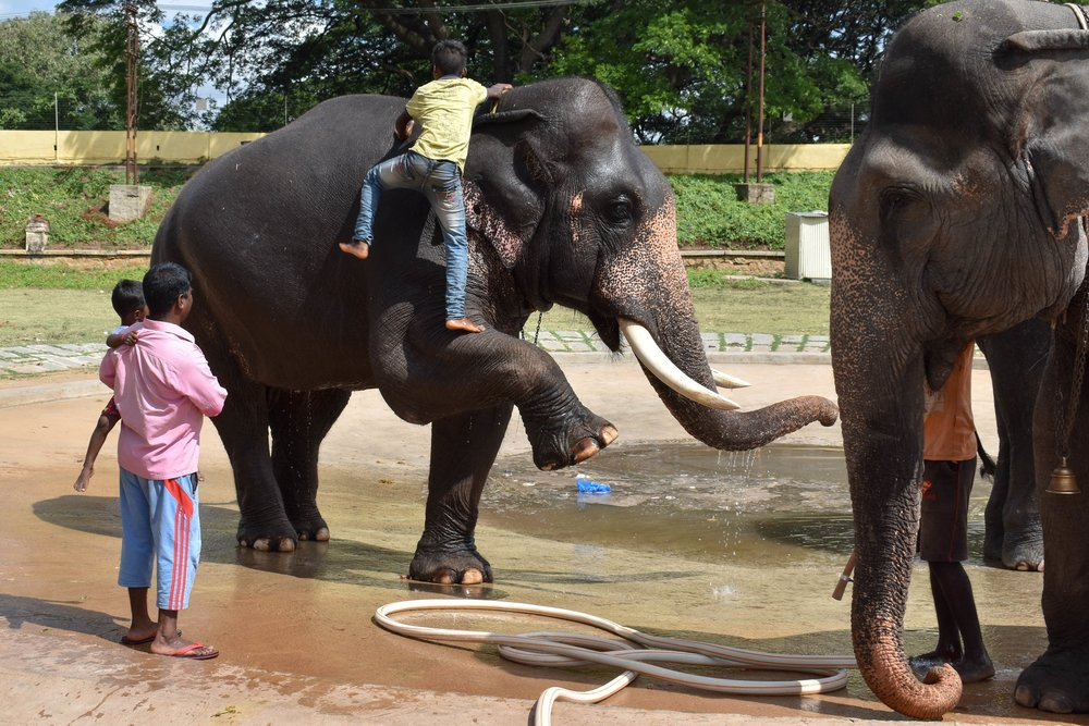 Elephant Processions - We documented an elephant showing clear signs of psychological anguish whilst training for an iconic traditional procession. The clip was published by UK news platform, Mail Online, and PETA India.Read more