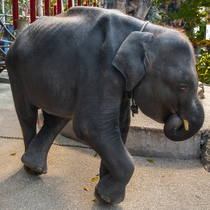 Photo 3 - Dumbo sucking trunk 3.jpg