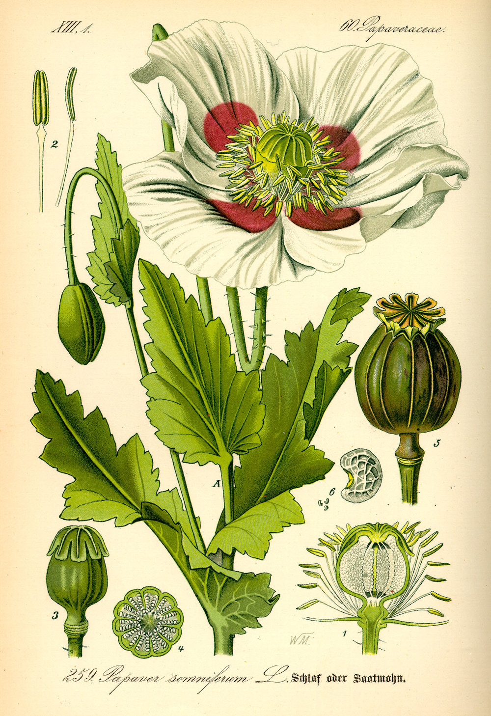 illustration_papaver_somniferum01.jpg