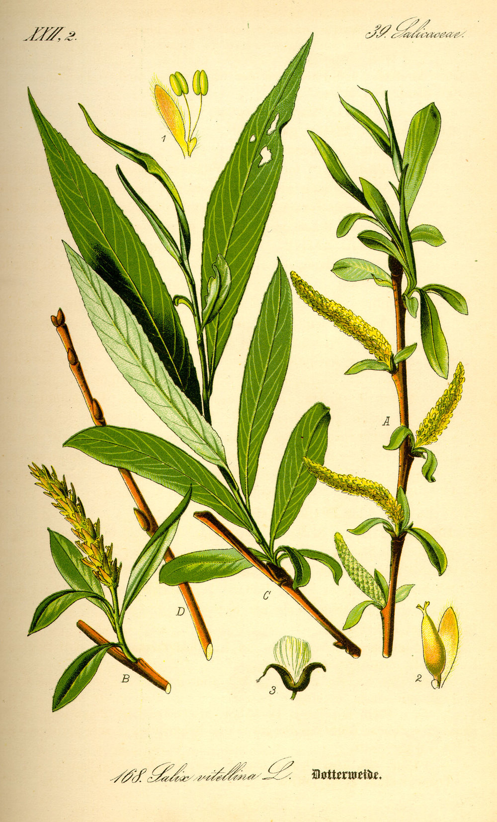 illustration_salix_alba0.jpg