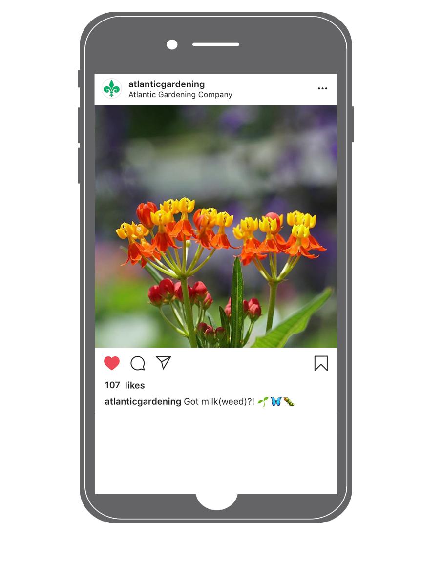 iphone milkweed.jpg