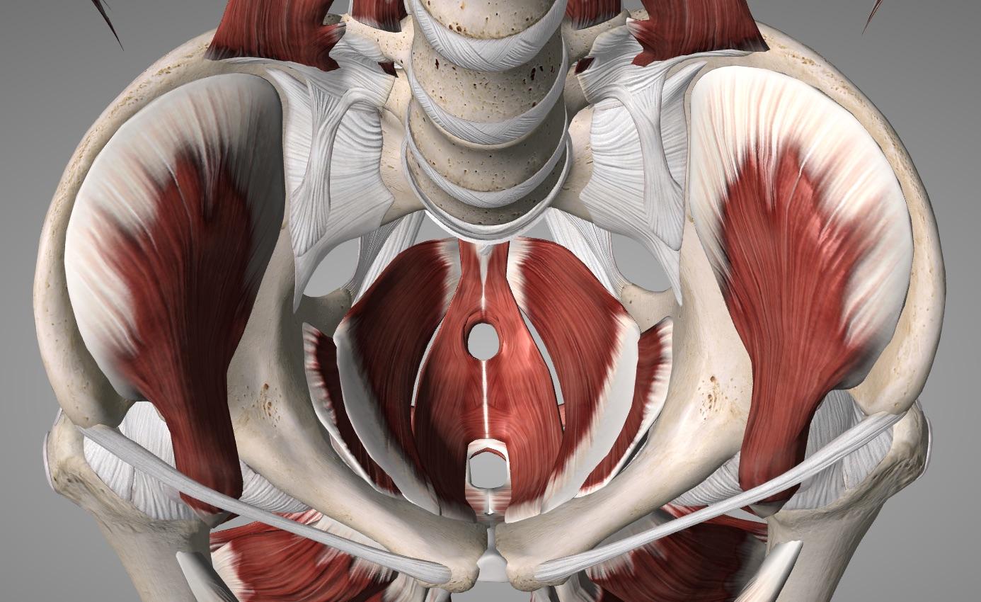Pelvic Musculature.jpg