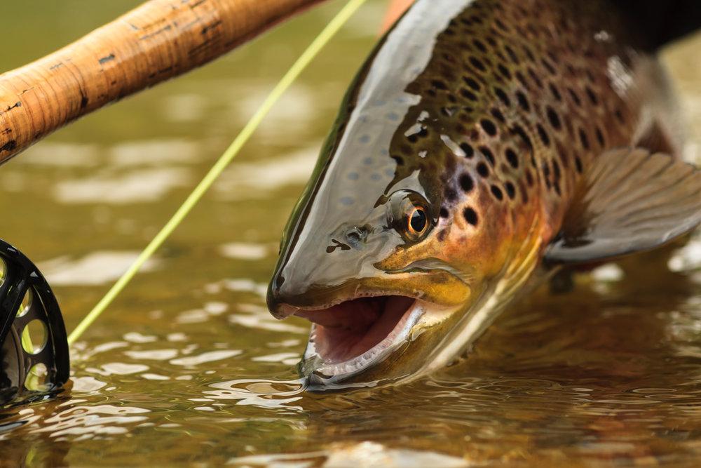 5RTU_shutterstock_brown trout.jpg