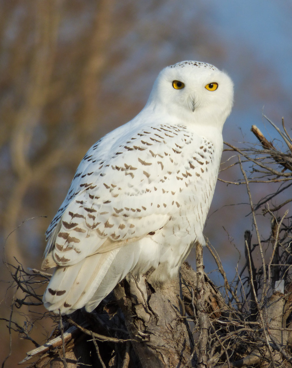 Harfang des neiges, Bubo scandiacus.