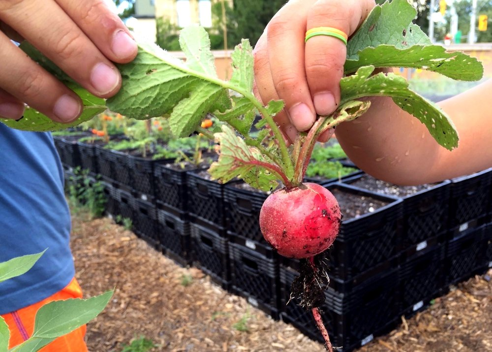 Radish grown at our Oben Flats urban farm at Sherbourne and Gerrard by children from the Robertson House.