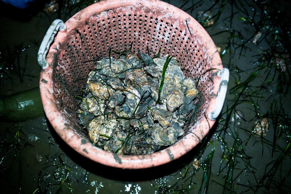 drayton harbor oysters-dylansantosgreen-23.jpg