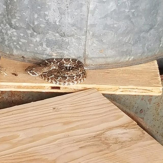 Rattlesnakes don't climb they say, tell rattlesnakes that I say.  It was in garage. #photoofday #nature#rattlesnake#instagood #blessed