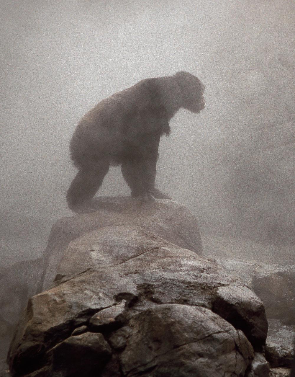Chimp in the mist.jpg