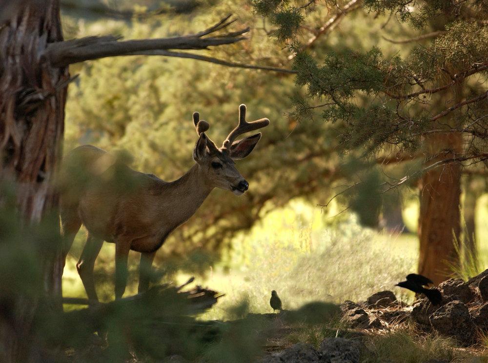 Deer8X10.jpg