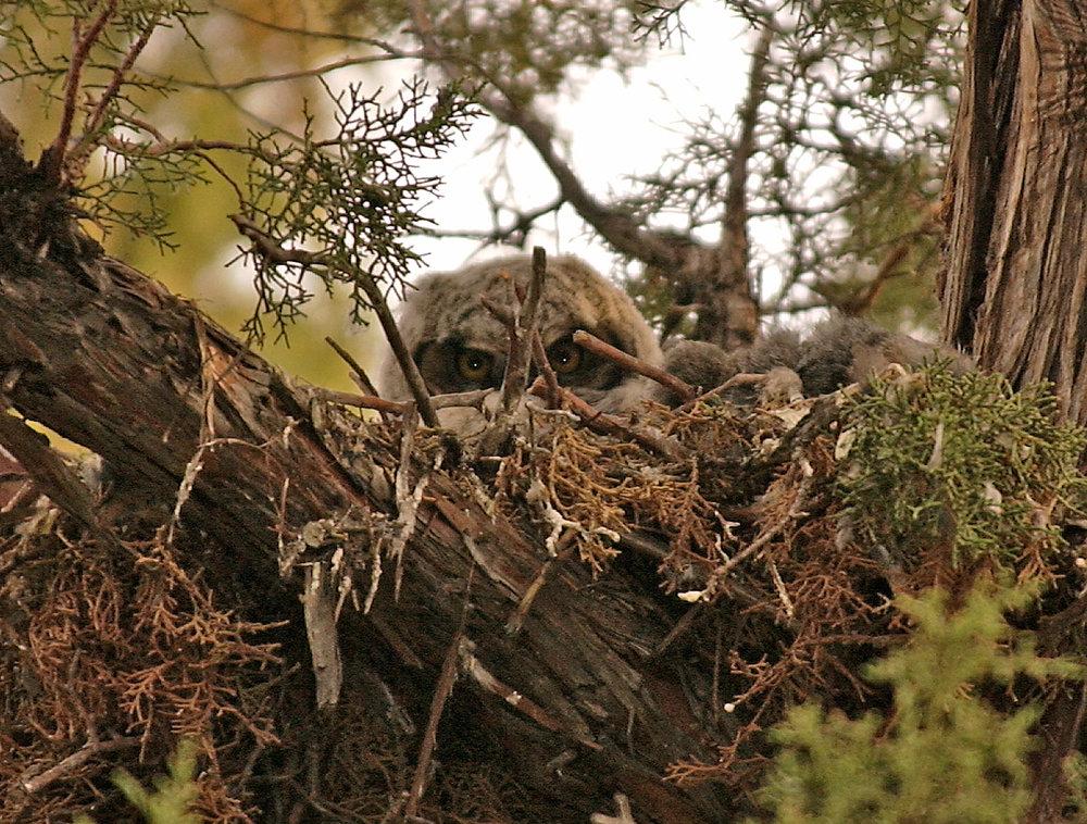 Owl in nest.jpg