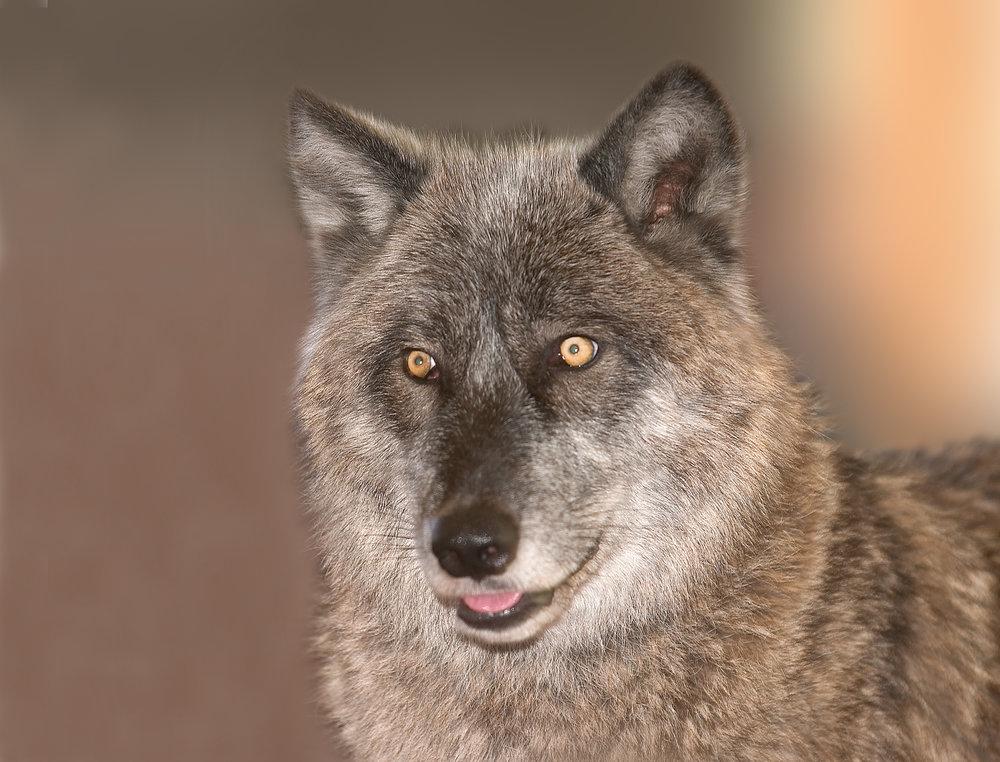 Wolf 8X10.jpg