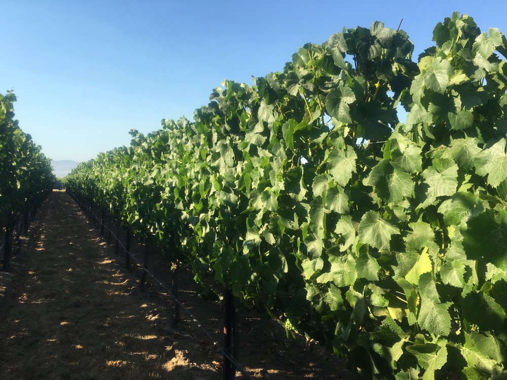 Our rows at Soberanes Pinot