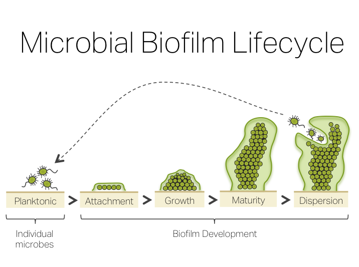 Biofilm Treatment Protocol Natural Biofilm Disruptors