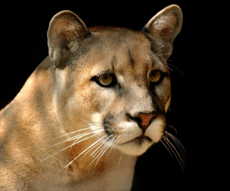 mountain-lion-portrait