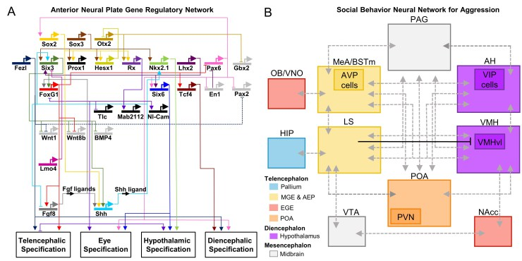 Figure 1: GRN and SBN circuits. (A) Circuit diagram representing the GRN controlling forebrain specification at midlate gastrula stage. The diagram shows the regulatory activity of key developmental transcription factors implicated in the specification of the different forebrain domains. Modified from ref. 11. (B) Simplified circuit diagram representing the core social behavior neural network for aggression, plus several key regions in the mesolimbic reward pathway.