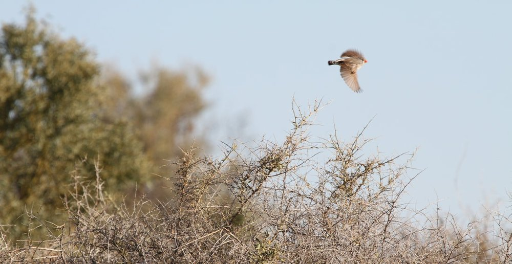 A female zebra finch flies at Fowler Gap Research Station, New South Wales, Australia Photo credit: Nicole M. Baran