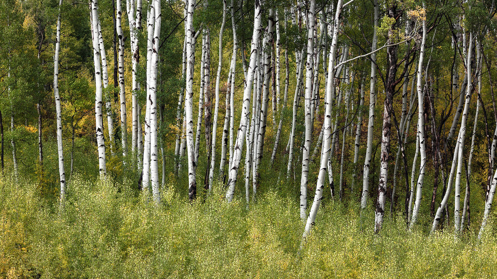 Aspens on McClure Pass, CO - Near Marble, CO