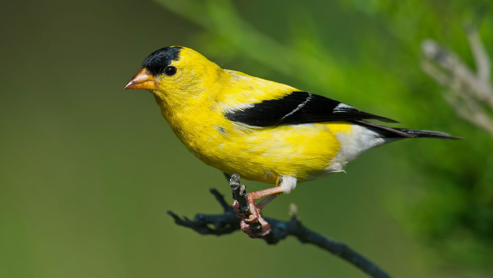 goldfinch.jpg