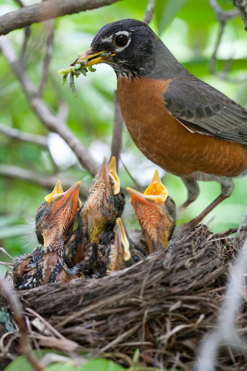 robin feeding babies.jpg