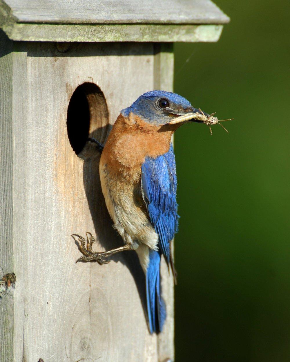 eastern bluebird on house.jpg