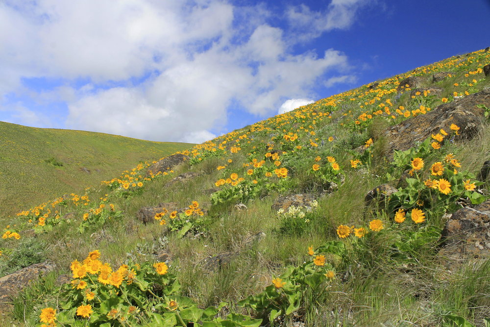 Wildflowers at Crawford Oaks in Columbia Hills State Park, Washington.