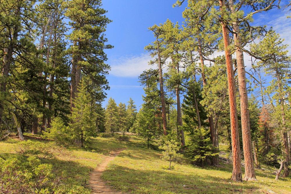 Ponderosa pines line the Fifteenmile Creek Trail.