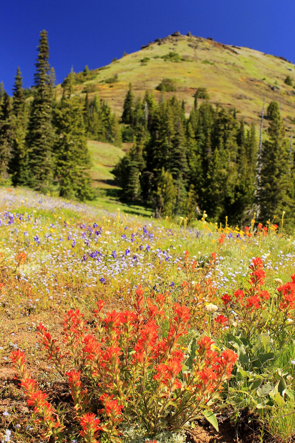 Wildflowers along the incomparable Iron Mountain Loop.