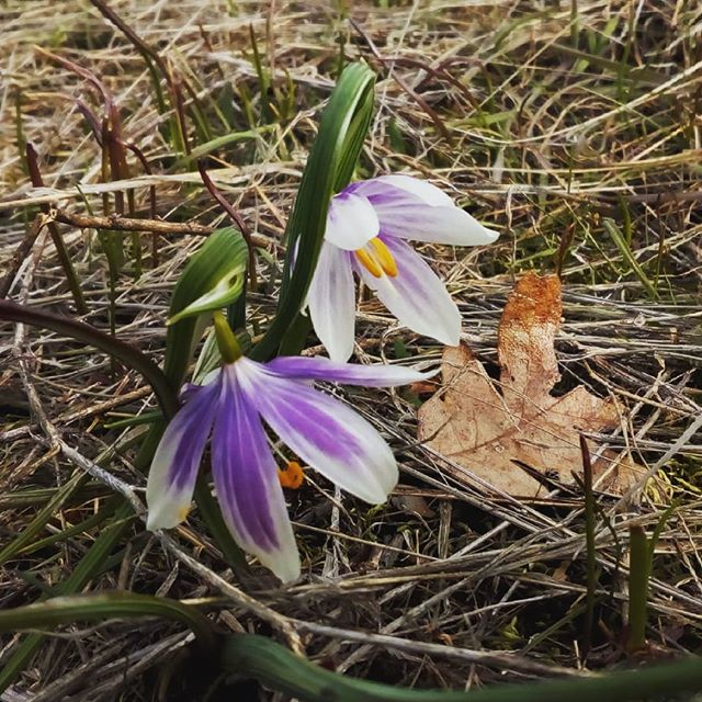 We found this gorgeous bi-colored grass widow in the Gorge today. Bring on spring! #springflowers