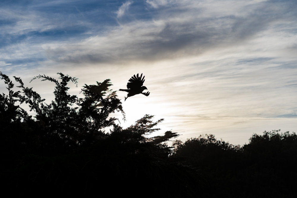 San Francisco — Lands End Bird in Flight