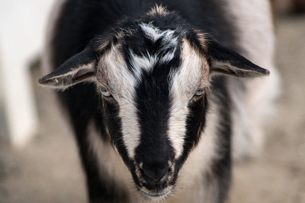 (He's actually a perfectly nice goat, from the Turtle Back Zoo).