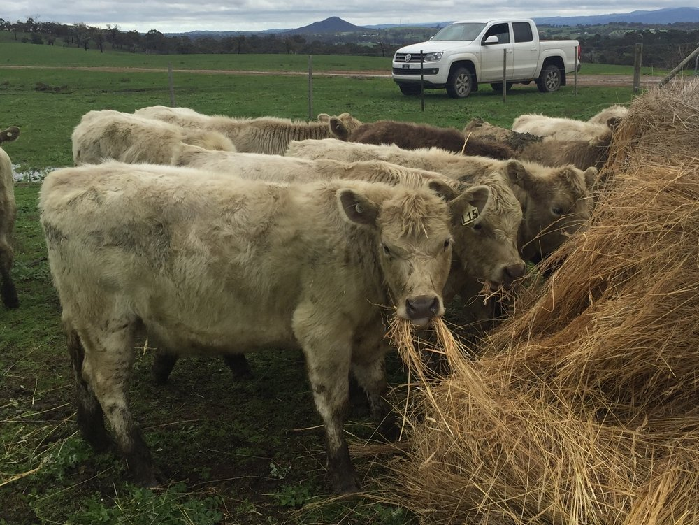 Square Meater Cattle at 7 months of age