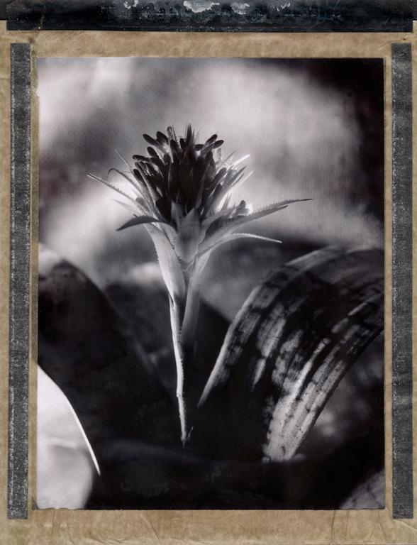 Blume-Pola-2.jpg