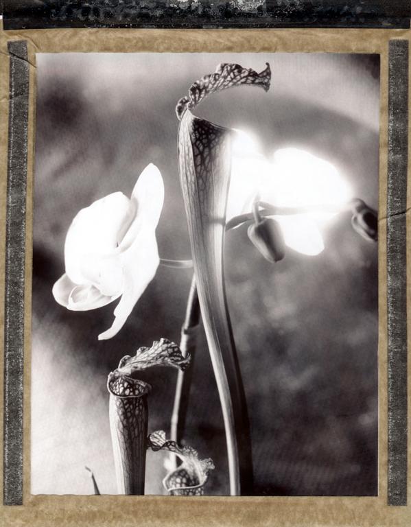 Blume-Pola-3.jpg