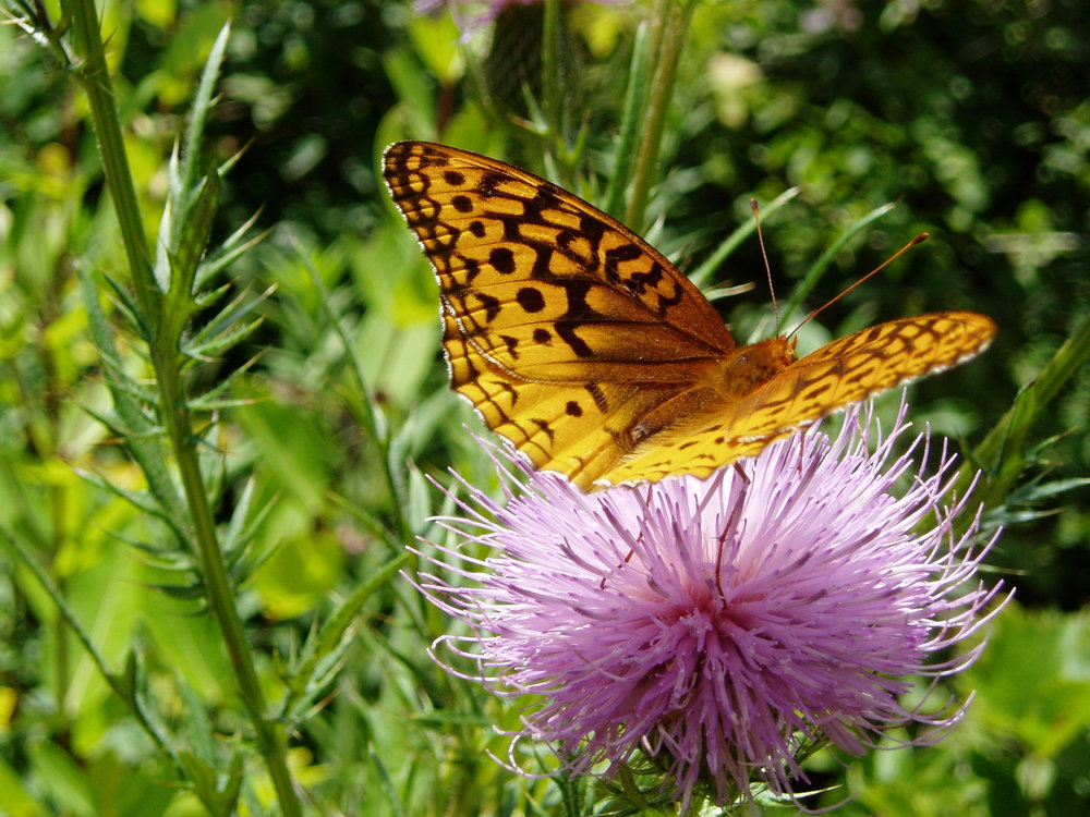 ……..And to have butterflies visiting your native plants!