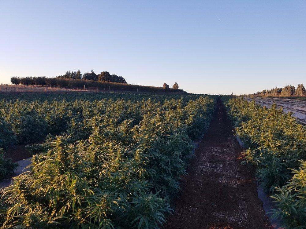Biomass - Hemp In Field 1