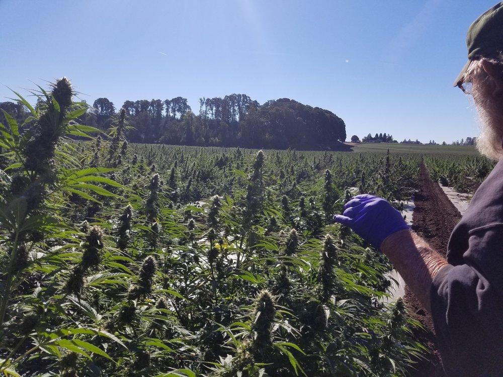 Biomass - Hemp in Field 2