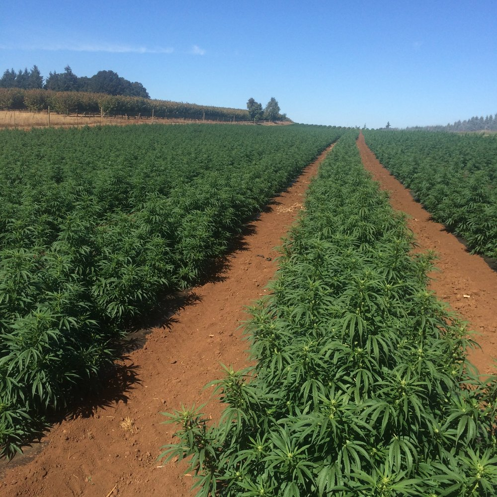 Hemp Clones - In Field 2