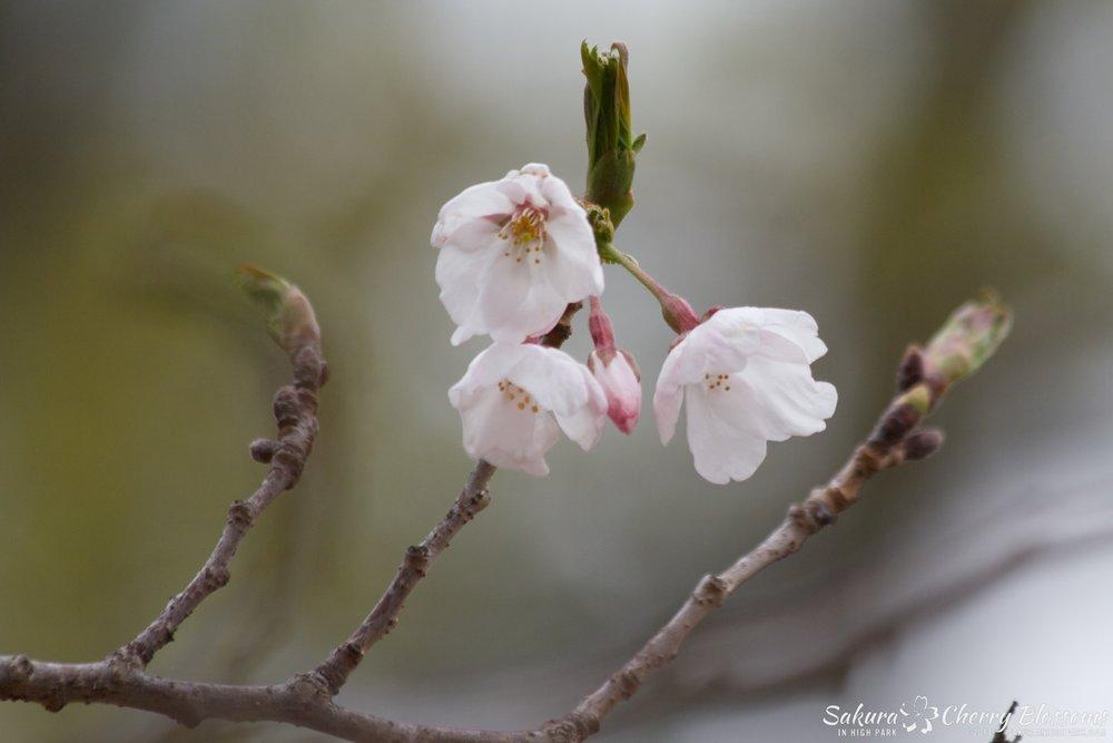 SakuraInHighPark-May0914-418.jpg