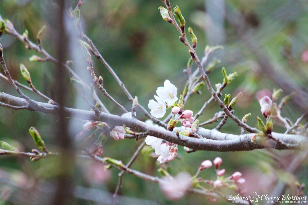 SakuraInHighPark-May0914-410.jpg