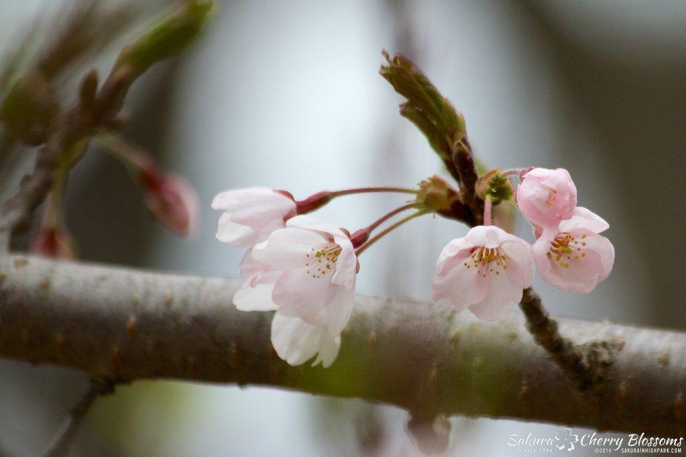 SakuraInHighPark-May0914-389.jpg