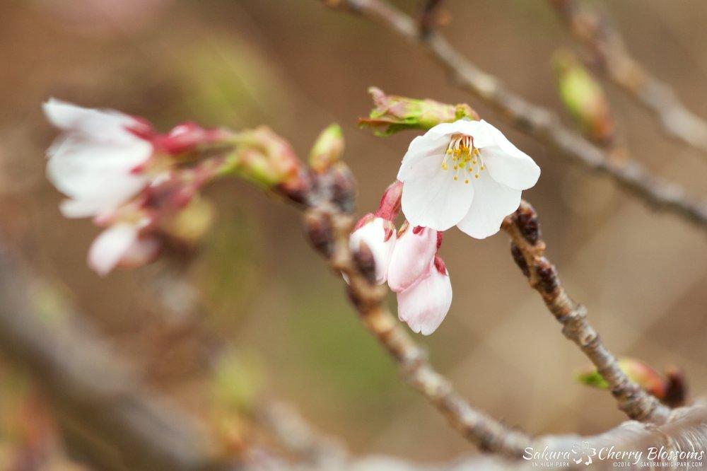 SakuraInHighPark-May0914-376.jpg