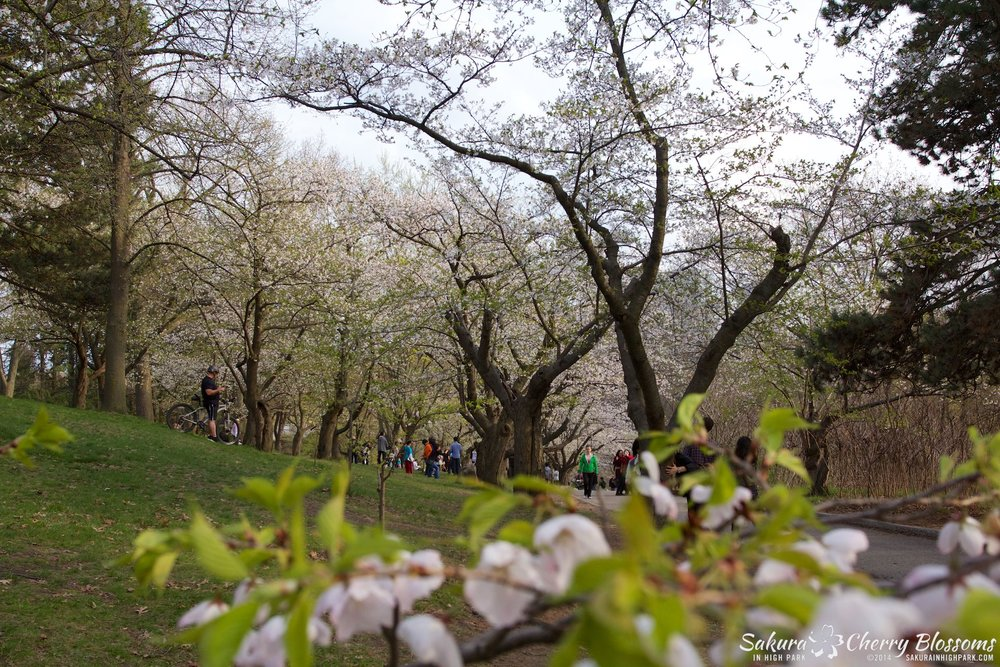 SakuraInHighPark-May1314-493.jpg